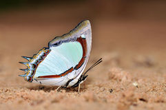 Indian Yellow Nawab butterfly. Of thailand background Royalty Free Stock Photo