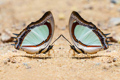 Indian yellow nawab butterfly Stock Photos