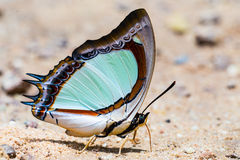 Indian yellow nawab butterfly Stock Image