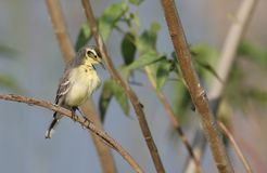 Indian yellow wagtail Stock Images