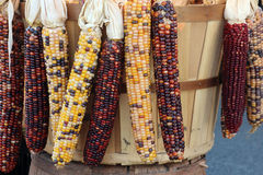 Indiana dried corn bunch Stock Photo