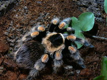 Indiana Jones spider Stock Photos