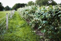 Indiana Vineyard Photographie stock libre de droits