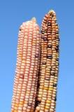 Indiana wysuszone kukurudze Obrazy Stock