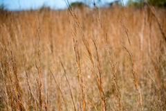 Indiangrass Golden Plains Background. Golden plain filled with tall native grass creates an interesting background image Royalty Free Stock Image
