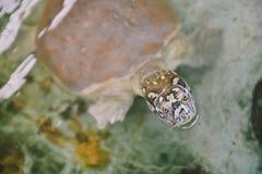 Indianin Łuskający żółw obrazy stock