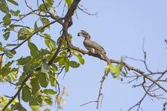 Indianin dzioborożec Popielaty łasowanie w drzewie zdjęcia stock
