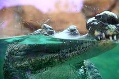 Indianin Gharial na pokazie w zoo obraz stock