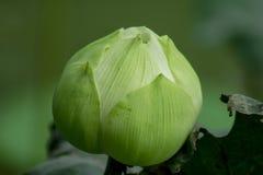 Indianin Lotus w natura kwiatach jest wielki zdjęcie royalty free