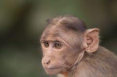 Indianin małpa 2 Zdjęcie Royalty Free