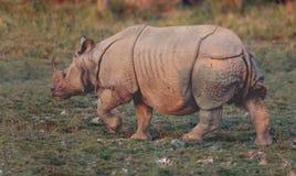 Indianin uzbrajać w rogi nosorożec Fotografia Stock