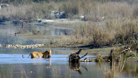 Indianina Bengalia tygrys w Népal Obraz Royalty Free