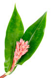 Indianina Kierowniczy imbir - Costus speciosus Zdjęcia Royalty Free
