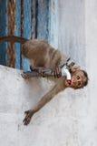 Indianina małpia napojów woda od klepnięcia Obrazy Royalty Free