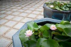 Indianina Nucifera kwiatu Lotosowy kwiat Obrazy Royalty Free