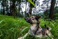 Indianina pies w lasowym Psim odprowadzeniu outdoors w lesie zdjęcie stock