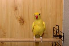Indianina Ringneck papuga Zdjęcia Stock