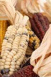 Indianm corn. Colour indian corn with husk Royalty Free Stock Photography