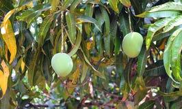 Indiano Alphonso Mangoes Hanging sull'albero di mango - Mangifera indica Immagine Stock