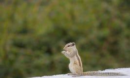 Indiano dello scoiattolo Immagini Stock