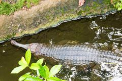 Indiano Gharial Immagine Stock