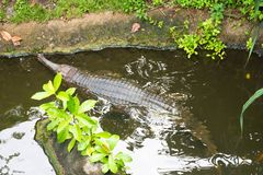 Indiano Gharial Immagini Stock