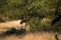 Indiano libero selvaggio Tiger Ranthambore Fotografie Stock Libere da Diritti