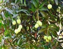 Indiano non maturo Alphonso Mangoes che appende su un albero di mango Immagine Stock