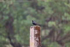 Indiano Robin Bird Closeup Fotografie Stock Libere da Diritti