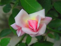 Indiano Rosa Fotografie Stock