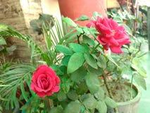 Indiano Rosa Imagem de Stock Royalty Free
