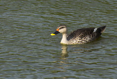 Indiano Spotbilled Duck Swimming Immagine Stock