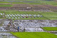 Indians working on the rice field Royalty Free Stock Images