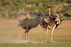 Indicação das avestruzes Imagens de Stock Royalty Free