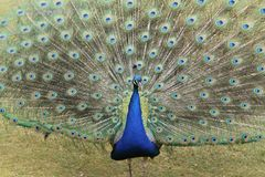 Indicação do pavão Imagens de Stock Royalty Free