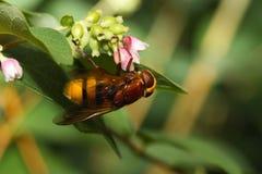 Indicação do zangão hoverfly Fotografia de Stock