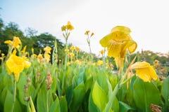 Indica κίτρινος Canna Στοκ Εικόνες