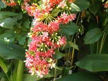 Indica λουλούδια Quisqualis στοκ φωτογραφίες