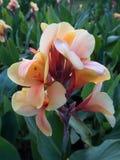 Indica bloem van Canna Royalty-vrije Stock Foto