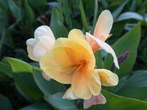 Indica bloem van Canna Stock Foto's