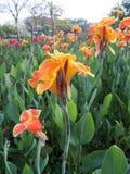 Indica bloem van Canna Royalty-vrije Stock Foto's