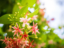 Indica Blume Quisqualis, rosa Blumenblüte Lizenzfreies Stockbild