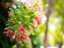 Indica Blume Quisqualis, rosa Blumenblüte Stockbild