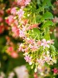 Indica Blume Quisqualis, rosa Blumenblüte Lizenzfreies Stockfoto