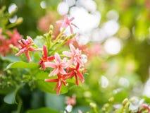 Indica Blume Quisqualis, rosa Blumenblüte Lizenzfreie Stockfotos