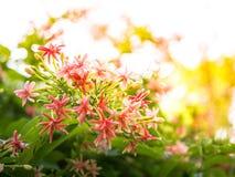Indica Blume Quisqualis, rosa Blumenblüte Lizenzfreie Stockbilder