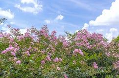 Indica Blumenblüte des Lagerstroemia im Garten lizenzfreies stockbild