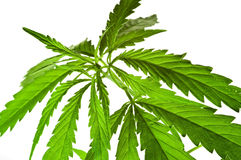 indica cannabis Arkivbild