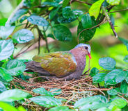 Indica Emerald Dove eller Chalcophaps Royaltyfria Bilder