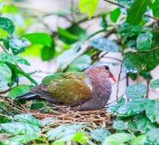Indica Emerald Dove eller Chalcophaps Royaltyfri Bild